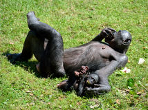 Bonobo ape with baby Stock Photos