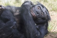 Bonobo Ape laying on a grassy patch of dirt stock image