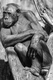 Bonobo ape portrait close up in b&w Stock Photos