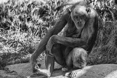 Bonobo ape portrait close up in b&w Royalty Free Stock Photos