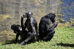 Bonobo apes. Family of Bonobo apes sat by lake in animal reserve royalty free stock photos