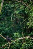 Bonobo auf der Niederlassung des Baums im natürlichen Lebensraum Lizenzfreies Stockfoto