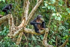 Bonobo auf der Niederlassung des Baums im natürlichen Lebensraum Lizenzfreie Stockfotos