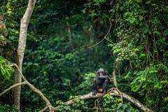 Bonobo auf der Niederlassung des Baums im natürlichen Lebensraum Stockfotografie