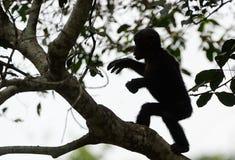 Bonobo auf einem Baumast. Stockfoto