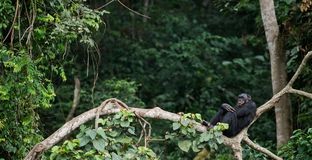 Bonobo auf einem Baumast. Stockbilder