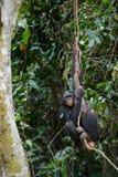 Bonobo auf einem Baumast. Lizenzfreie Stockbilder