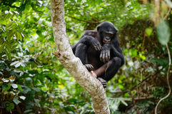 Bonobo auf einem Baumast. Lizenzfreies Stockfoto