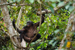 Bonobo auf einem Baumast. Lizenzfreie Stockfotos