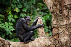 Bonobo auf einem Baumast. Stockfotos