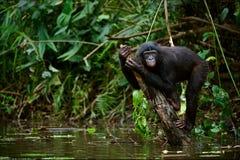 Bonobo auf einem Zweig, der aus Wasser heraus haftet. Lizenzfreie Stockfotografie