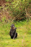 Bonobo baby monkey Royalty Free Stock Images