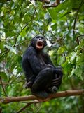 Bonobo on a branch. Royalty Free Stock Photos