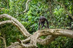 Bonobo on the branch of the tree in natural habitat. Green natural background. The Bonobo Pan paniscus royalty free stock photo