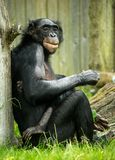 Bonobo Chimp Stock Image