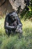 Bonobo chimpanzee ape portrait close up. Portrait of bonobo ape close up looking at you Stock Images