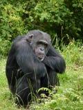 Bonobo. A contemplative Bonobo sits by himself Stock Photo