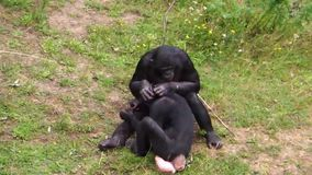 Bonobo couple grooming, popular human apes, pygmy chimpanzees, Social primate behavior, endangered animal specie from Africa