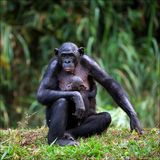 Bonobo with a cub. Mother-Bonobo with a cub on hands sits on a green grass Stock Photography