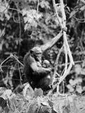 Bonobo with a cub Royalty Free Stock Photos