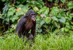 Bonobo CUB auf dem grünen natürlichen Hintergrund Lizenzfreies Stockfoto