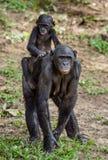 Bonobo CUB auf der Mutter ` s Rückseite Stockfotos