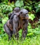 Bonobo CUB auf der Mutter ` s Rückseite Lizenzfreie Stockfotos