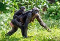Bonobo CUB auf der Mutter ` s Rückseite Lizenzfreie Stockfotografie