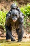 Bonobo CUB auf der Mutter ` s Rückseite Stockfotografie
