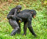 Bonobo CUB auf der Mutter ` s Rückseite Stockfoto