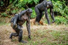 Bonobo CUB auf der Mutter ` s Rückseite Lizenzfreies Stockfoto