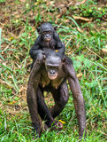 Bonobo Cub on back at mother. Royalty Free Stock Photos