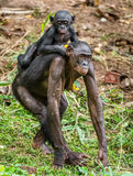 Bonobo Cub on brachiums at mother. Stock Photography