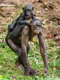 Bonobo Cub on brachiums at mother. Stock Photography
