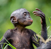 Bonobo Cub. Close up Portrait Royalty Free Stock Photos