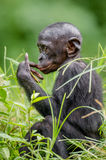 Bonobo Cub. Close up Portrait Stock Photo