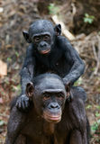 Bonobo CUB et mère. Photos libres de droits