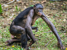 Bonobo Cub and mother. Stock Images