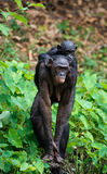 Bonobo  Cub and mother. Royalty Free Stock Images