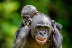 Bonobo Cub on the mother`s back Stock Image
