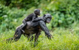 Bonobo Cub on the mother`s back . Royalty Free Stock Photography