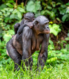 Bonobo Cub on the mother`s back Royalty Free Stock Photos