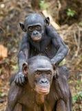 Bonobo CUB sur des brachiums à la mère À une distance courte, fermez-vous Le bonobo (paniscus de casserole) Photographie stock