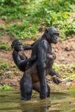 Bonobo CUB sur le dos du ` s de mère dans l'eau image stock