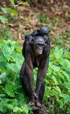 Bonobo CUB und Mutter. Lizenzfreie Stockbilder