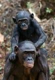 Bonobo CUB und Mutter. Lizenzfreie Stockfotos