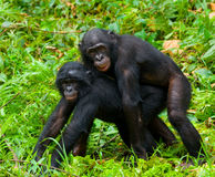 Bonobo de dois bebês que joga um com o otro Republic Of The Congo Democratic Parque nacional do BONOBO de Lola Ya Fotografia de Stock