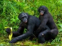 Bonobo de dois bebês que joga um com o otro Republic Of The Congo Democratic Parque nacional do BONOBO de Lola Ya Foto de Stock