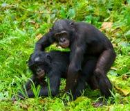 Bonobo de dois bebês que joga um com o otro Republic Of The Congo Democratic Parque nacional do BONOBO de Lola Ya Imagens de Stock