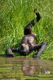 Bonobo, der auf dem Gras liegt Demokratische Republik Kongo Lola Ya-BONOBO Nationalpark Lizenzfreie Stockbilder